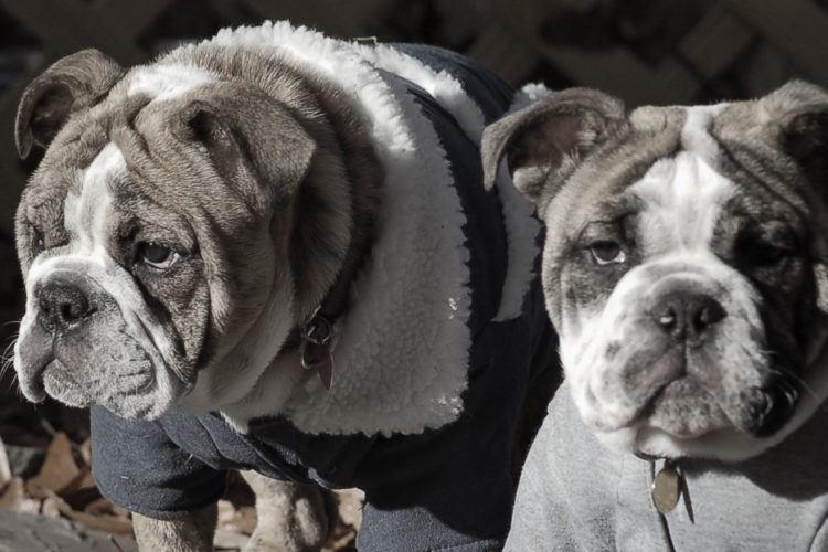 Photo of brother and sister bulldogs